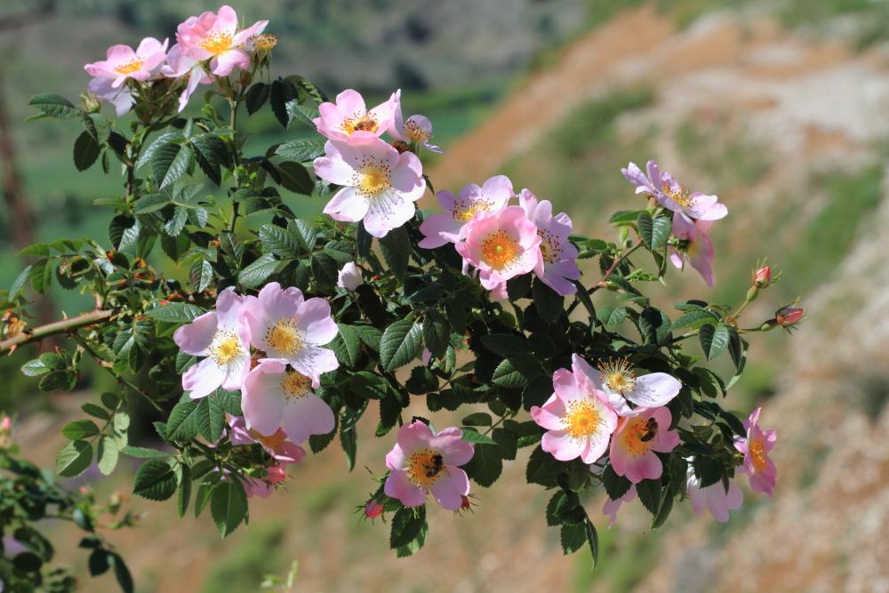 Картинки красивого леса цветы колючий шиповника